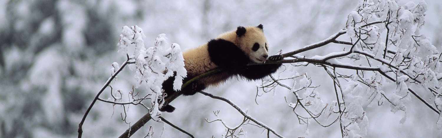Giant Panda juvenile (Ailuropoda melanoleuca), on tree in snow, Qinling Mts., Shaanxi, China