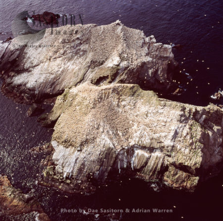 Gannet Colony At Rumblings And Vesta Skerry, North Of Unst, Shetland Islands,