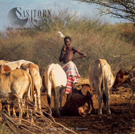 POKOT People, Male With Cattle, Northern Kenya, 1990, Africa