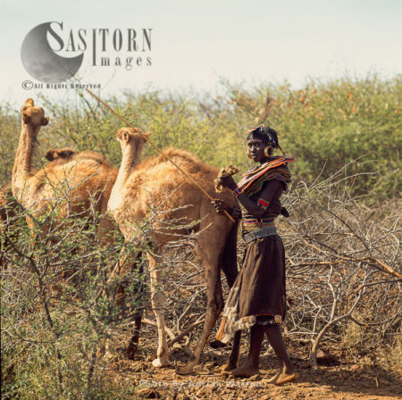 Pokot People (P_koot), Camels Are Kept For Production Of Milk, Some Meat And Transportation, Northern Kenya. 1990