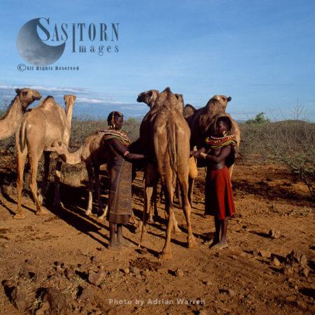 Pokot People (P_koot), Womans Milking Camel  Northern Kenya. 1990