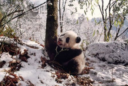 Giant Panda Juvenile  In Snow, Qinling Mts., Shaanxi, China, 1993