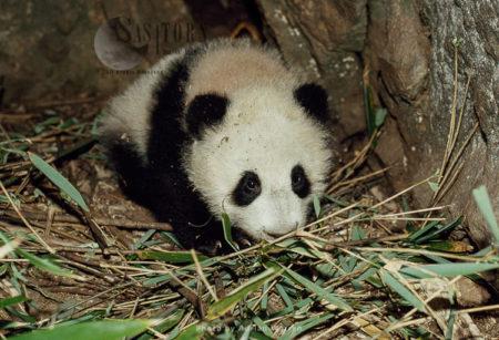 Giant Panda Juvenile, Qinling Mts. China, Shaanxi, China, 1993