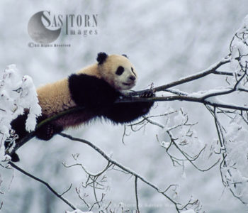 Giant Panda Juvenile On Tree In Snow, Qinling Mts., Shaanxi, China, 1993