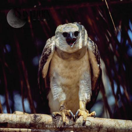 Bird Pet, Waorani Indians, Rio Cononaco, Ecuador, 1983