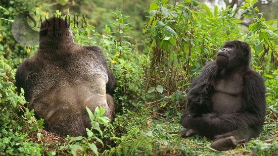 Mountain Gorillas  (Gorilla G. Beringei) - Silverback And Blackback Males, Virunga Volcanoes, Rwanda'