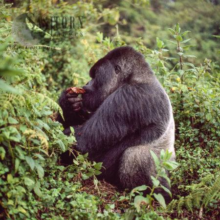 Mountain Gorilla (Gorilla G. Beringei) - Silverback Male, Virunga Volcanoes, Rwanda'