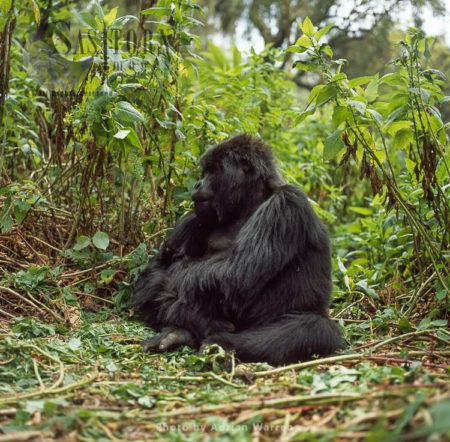Ape: Mountain Gorilla (Gorilla G. Beringei) – Blackback Male, Virunga Volcanoes