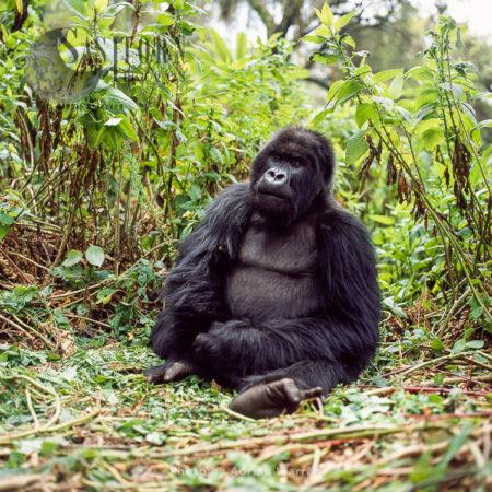 Ape: Mountain Gorilla (Gorilla G. Beringei) - Blackback Male, Virunga Volcanoes
