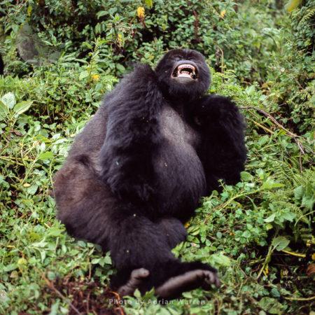 Mountain Gorilla (Gorilla G. Beringei), Female Yawning, Virunga Volcanoes, Rwanda