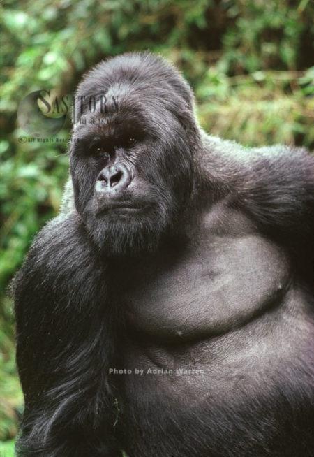Ape: Mountain Gorilla (Gorilla G. Beringei) –  'Imbaraga' Silverback Male, Virunga Volcanoes, Rwanda