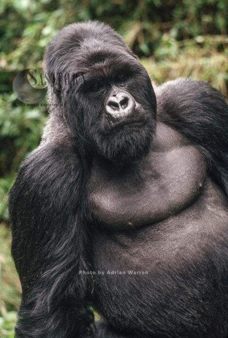 Ape: Mountain Gorilla (Gorilla G. Beringei) -  'Imbaraga' Silverback Male, Virunga Volcanoes, Rwanda