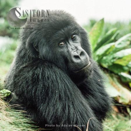 Ape: Mountain Gorilla (Gorilla G. Beringei) - Blackback Male, Virunga Volcanoes, Rwanda