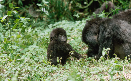 Mountain Gorilla (Gorilla G. Beringei), Mother Sleeping, Baby Playing, Virunga Volcanoes, Rwanda