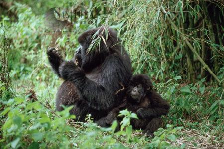 Mountain Gorilla (Gorilla G. Beringei), Female And Infant Feeding, Virunga Volcanoes, Rwanda