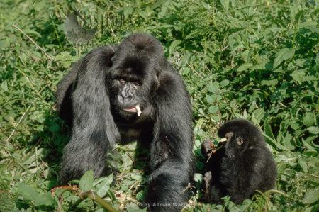 Mountain Gorilla (Gorilla G. Beringei), Siverback Male With Juvenile Feeding, Virunga Volcanoes, Rwanda