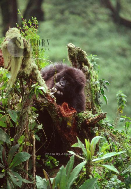 Mountain Gorillas (Gorilla G. Beringei), Juvenile Gorilla Posing, Virunga Volcanoes, Rwanda