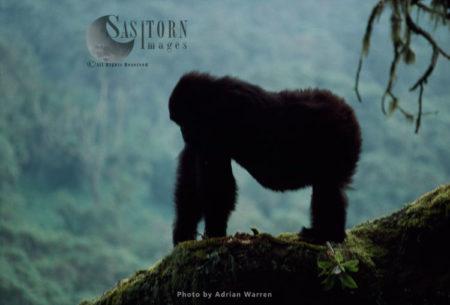 Mountain Gorilla (Gorilla G. Beringei), Infant Gorilla, Virunga Volcanoes, Rwanda