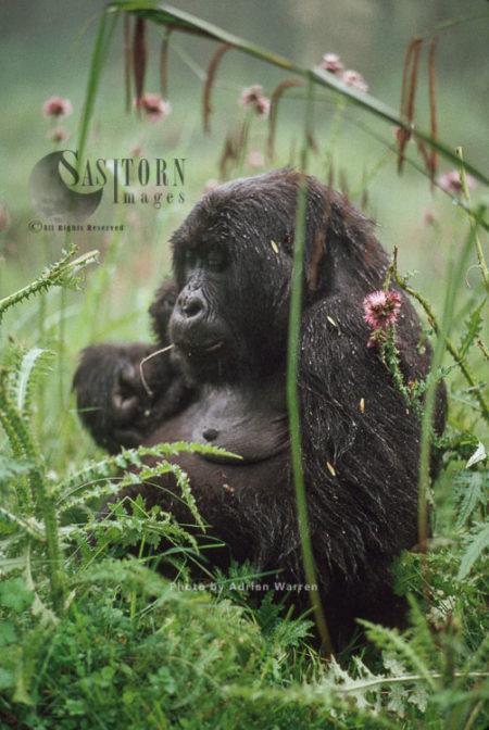 Mountain Gorilla (Gorilla G. Beringei), Feeding On Thristle, After Rain, Virunga Volcanoes, Rwanda