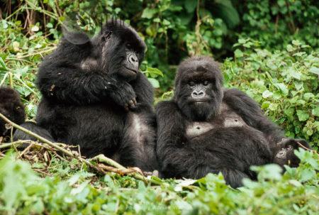 Mountain Gorilla (Gorilla G. Beringei): Two Females Resting, Virunga Volcanoes, Rwanda