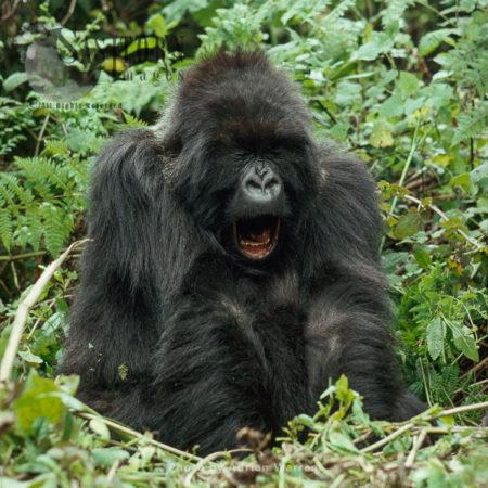 Mountain Gorilla (Gorilla G. Beringei), Young Adult Female Yaning, Virunga Volcanoes, Rwanda