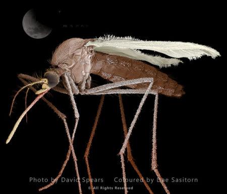 Mosquito, Culex Pipiens