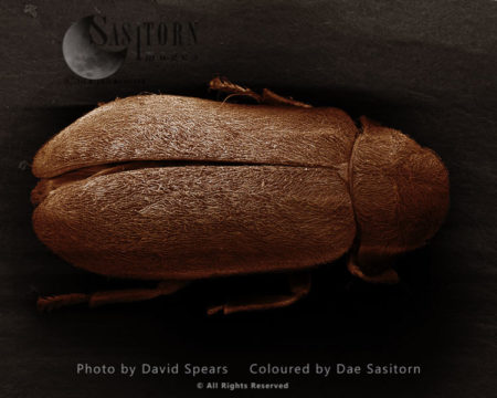 Death Watch Beetle, Xestobium RufovillosumMagnification X 40 At A4 Print Size