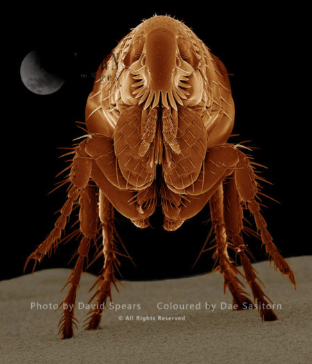 SEM: Cat Flea, Ctenocephalides Felis; Magnification X 95 At A4 Print Size