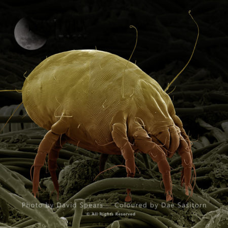 SEM:  Dust Mite, Dermatophagoides Pteronyssinus; Magnforication X 700 (for Print A4 Size: 29.7 Cm Wide)