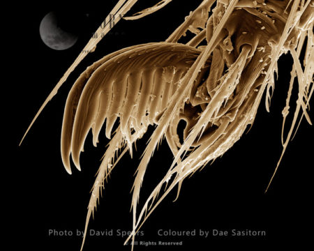 SEM: A Fot Of Cellar Or Daddy-long-legs Spider, Pholcus Phalangiodes