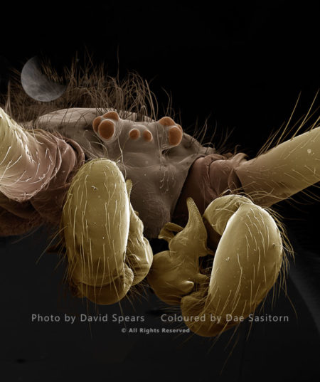 SEM: A Male Cellar Or Daddy-long-legs Spider, Pholcus Phalangiodes
