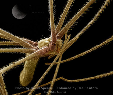 SEM: A Female Cellar Or Daddy-long-legs Spider, Pholcus Phalangiodes