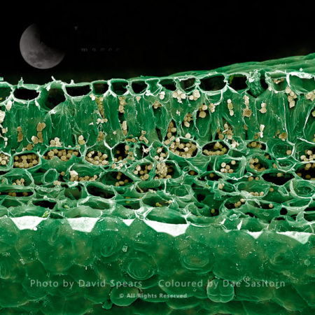 Scanning Electron Micrograph (SEM): Leaf Section