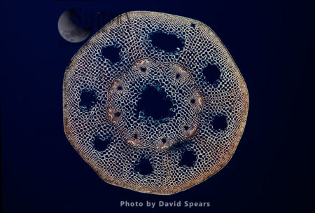 Light Micrograph: A Transverse Section Of A Stem Of A Horsetail Fern (Equisetum Sp.)