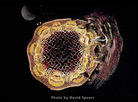 Light Micrograph (LM): A Transverse Section Of A Stem Of Clover (Trifolium Sp.) With An Unidentified Parasite Attached.