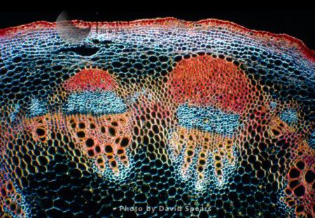 Light Micrograph (LM): A Transverse Section Of A Stem Showing Vascular Bundle, Cortex And Epidermis Of Jerusalem Artichoke (Helianthus Tuberosus)