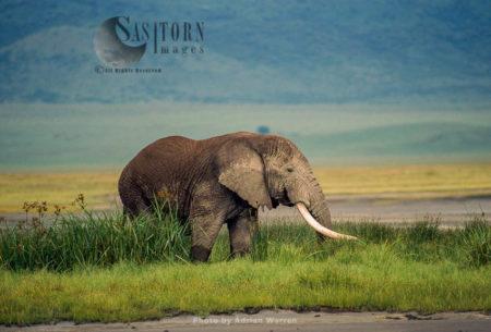 African Elephant (Loxodonta Africana), Ngorongoro Crater, Tanzania
