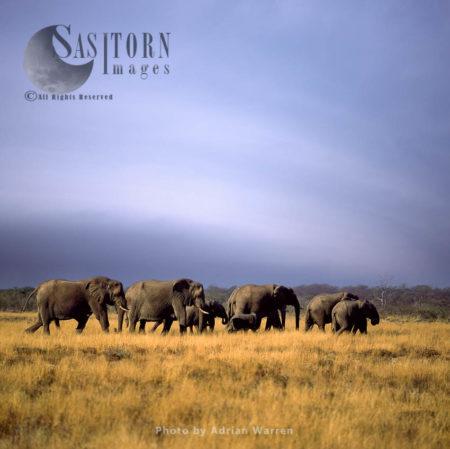 African Elephant (Loxodonta Africana), A Herd Of Elephants Travelling, Etosha National Park, Namibia