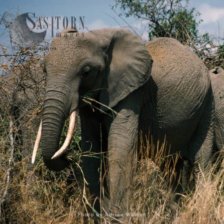 African Elephant (Loxodonta Africana), Tsavo West, Kenya
