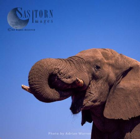 African Elephant (Loxodonta Africana), Feeding, Etosha National Park, Namibia