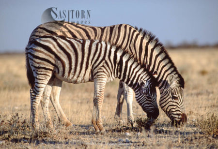 Burchell's Zebra (Equus Burchelli), Female And Foal Grazing, Etosha National Park, Namibia