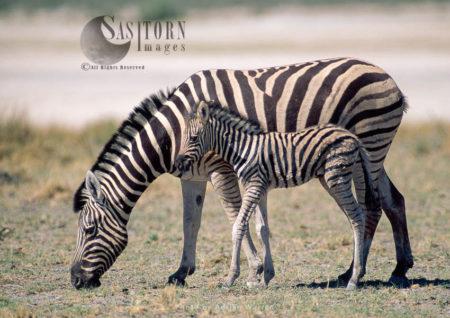 Burchell's Zebra (Equus Burchelli), Mother And Foal Grazing, Etosha National Park, Namibia, Africa
