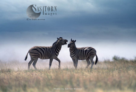 Burchell's Zebra (Equus Burchelli), Zebras Fighting, Etosha National Park, Namibia