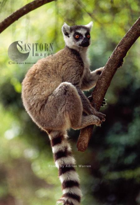 Ring-tailed Lemur (Lemur Catta) On Tree, Berenty, Southern Madagascar