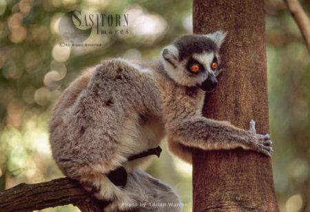 Ring-tailed Lemur (Lemur Catta) Male On Tree, Berenty, Southern Madagascar