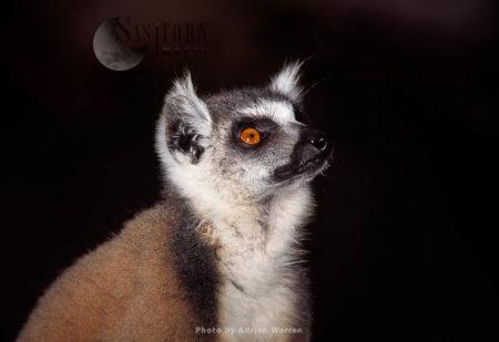 Ring-tailed Lemur (Lemur Catta) Portrait, Berenty, Southern Madagascar