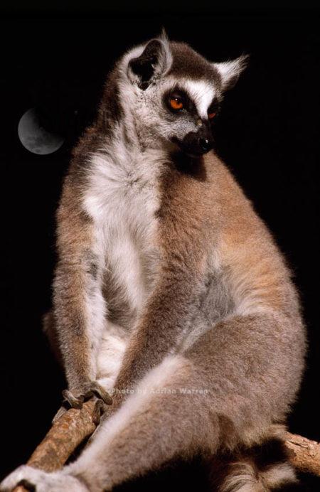 Ring-tailed Lemur (Lemur Catta) Resting, Berenty, Southern Madagascar