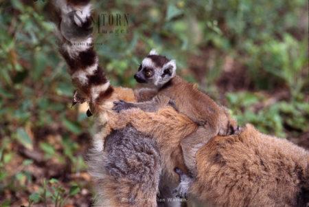 Ring-tailed Lemur (Lemur Catta) Baby Clinging On Mum's Back, Berenty, Southern Madagascar