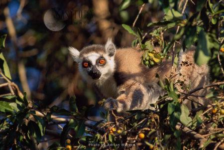 Ring-tailed Lemur (Lemur Catta) Feeding On Leaves And Burries, Sunbathing, Berenty, Madagascar