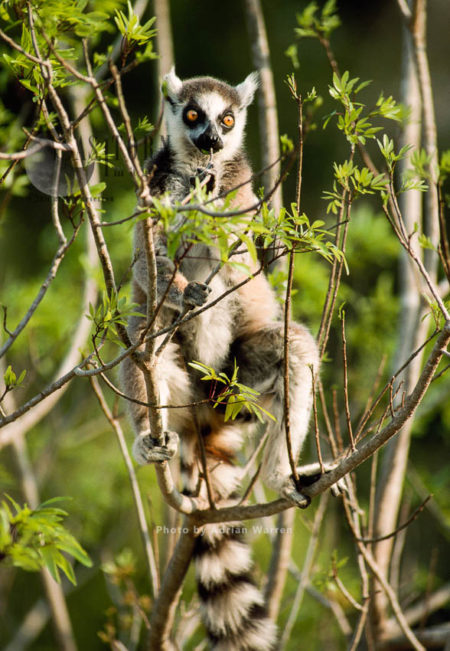 Ring-tailed Lemur (Lemur Catta) Feeding On Leaves, Berenty, Southern Madagascar